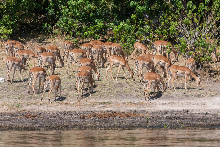 Antelope in Chobe National Park