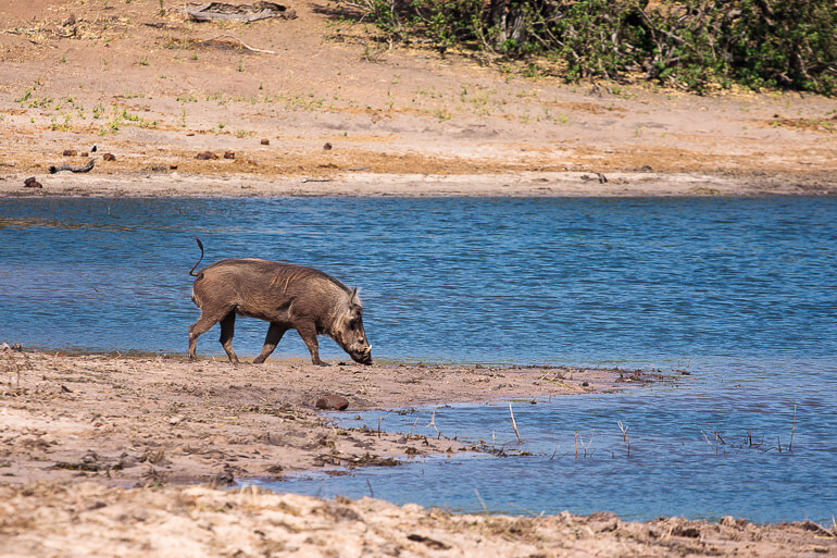 Warthog in Chobe National Park