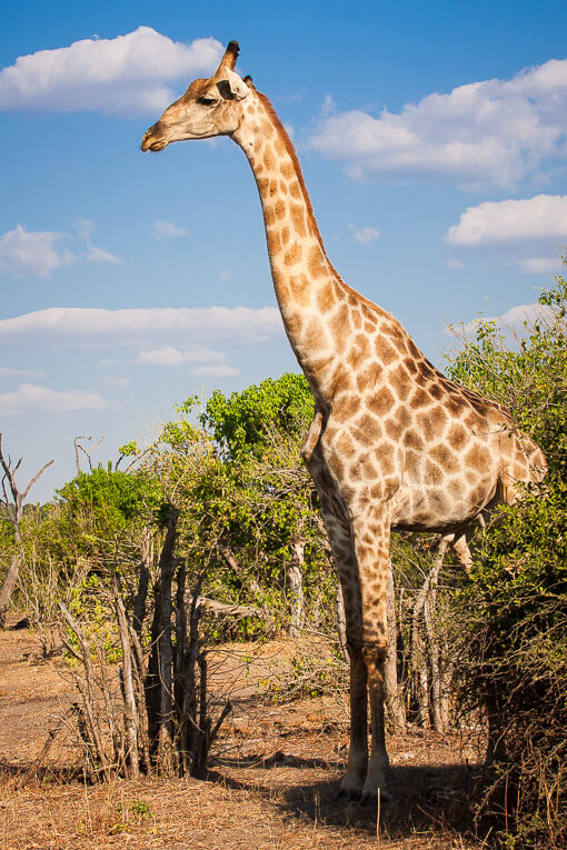 Giraffe at Chobe National Park